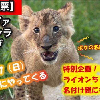 【10.17福島戦】「ライオン赤ちゃんの名づけ親になろう!」最終候補発表と決戦投票実施のお知らせ